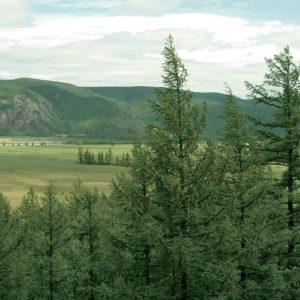 Лес на Алтае