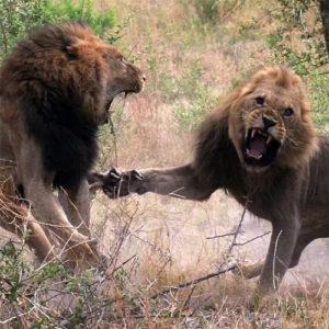 львы дерутся за территорию - откуда происходят гнев и злость