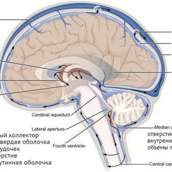 ликвор и его течение головной и спинной мозг