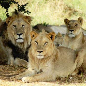 pride - семья львов