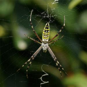 паук-оса жуткий и страшный